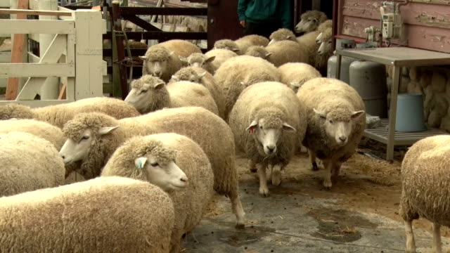 a sheep at a pasture in the western japanese city of kobe draws popularity as it looks like it is laughing and is called smile the sheep is next... - 'at' symbol stock videos and b-roll footage