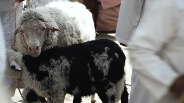 vídeos de stock e filmes b-roll de ms selective focus sheep at auction, bahla, oman - grupo mediano de animales