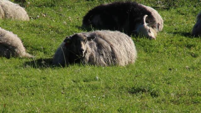 Sheep awaken in the morning.