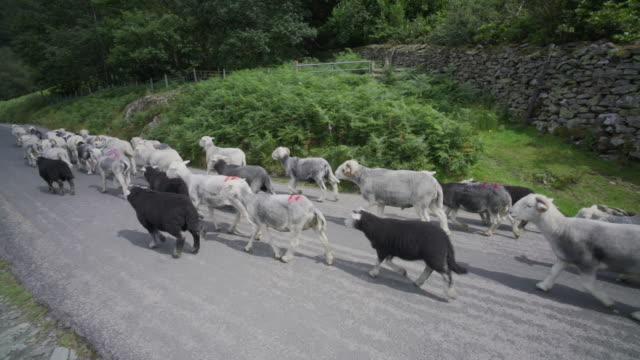 sheep being herded along the road - herding stock-videos und b-roll-filmmaterial