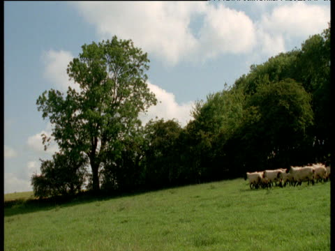 vidéos et rushes de sheep being herded from camera by sheepdog, uk - troupeau de moutons