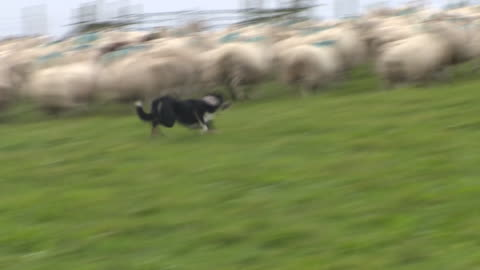 sheep being rounded up on a farm - herding stock videos & royalty-free footage