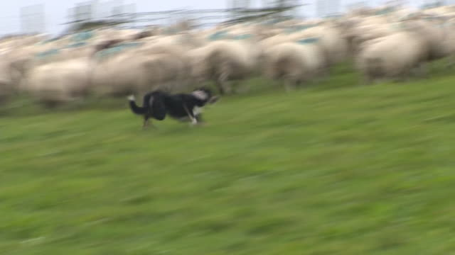 sheep being rounded up on a farm - herding stock-videos und b-roll-filmmaterial