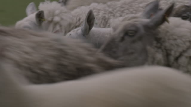 vidéos et rushes de sheep bleat as they dash past, uk. - mouton