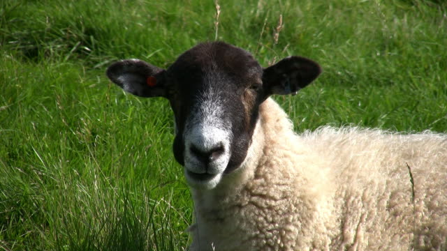sheep chewing the cud. - 20 seconds or greater stock videos & royalty-free footage