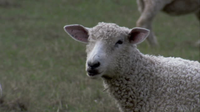 a sheep chews grass and casually surveys its surroundings in a grassy pasture. available in hd. - sheep stock videos & royalty-free footage