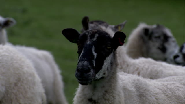 sheep cluster in a meadow in gloucestershire, england. available in hd. - gloucestershire stock videos and b-roll footage