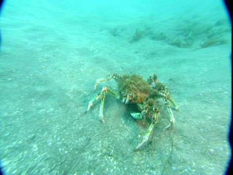 A sheep crab crawls over a sandy seabed.