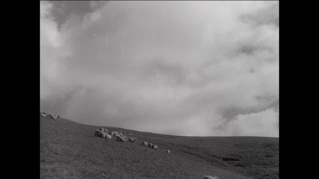 vídeos y material grabado en eventos de stock de montage sheep crossing stream and grazing in field / aberystwyth, wales - aberystwyth