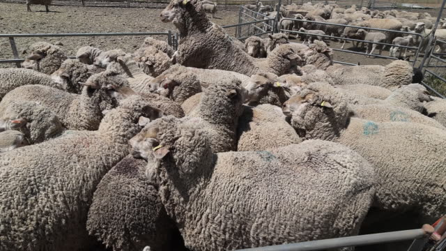vídeos de stock e filmes b-roll de sheep crowded in a pen ahead of shearing near gunnedah in new south wales australia on tuesday october 13 2020 - tosquiar
