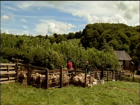 sheep dipped in chemical bath during shearing season dartmoor - chemical stock videos & royalty-free footage