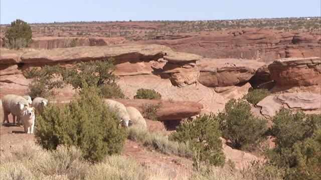 sheep & dog walking around rocky landscape, terrain, grazing on green shrubs, plants, canyon drop-off & cliffs bg. southwest, arid, dry, desert,... - arizona stock videos & royalty-free footage