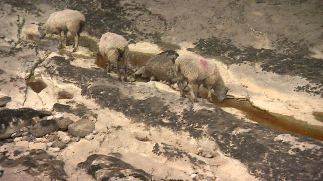 sheep drink from the last remaining pools of water on an exposed riverbed in the yorkshire dales, uk - drought stock videos & royalty-free footage