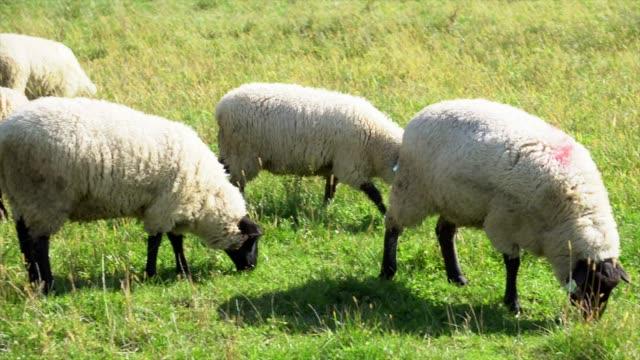 vídeos y material grabado en eventos de stock de ovejas comer hierba - oveja merina