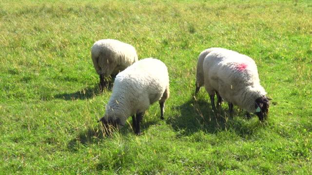 sheep eating grass - merino sheep stock videos and b-roll footage