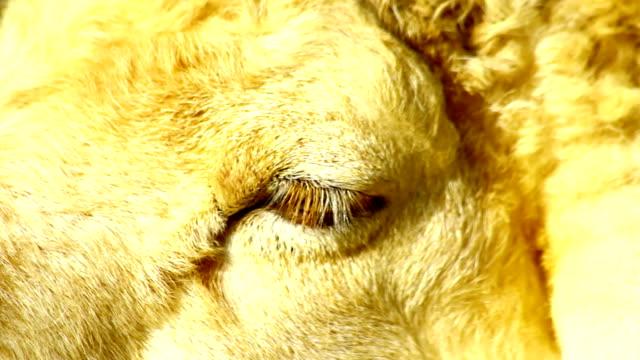 sheep eye - animal hair stock videos & royalty-free footage