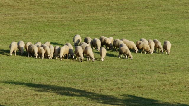 sheep farm in the nature - grazing stock videos & royalty-free footage