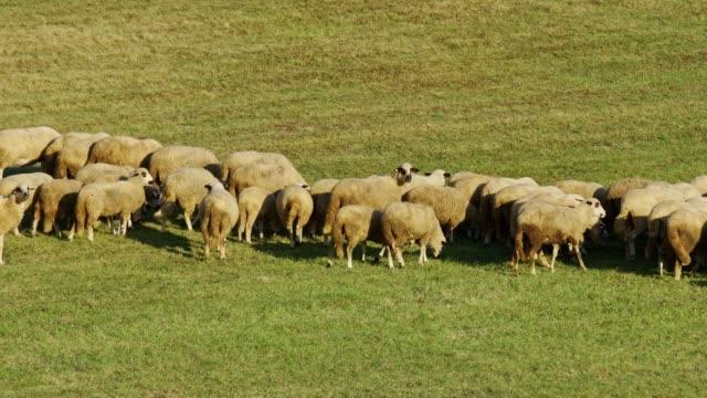 stockvideo's en b-roll-footage met schapenboerderij in de natuur - op hol slaan