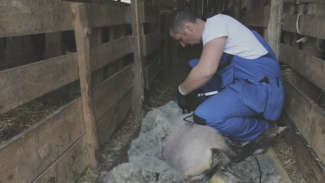 vídeos de stock e filmes b-roll de sheep farm - tosquiar