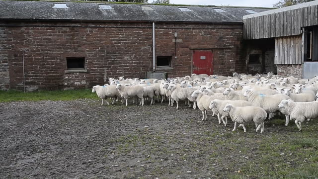 sheep farming in yorkshire york england united kingdom on tuesday october 15 2019 - large group of animals stock videos & royalty-free footage