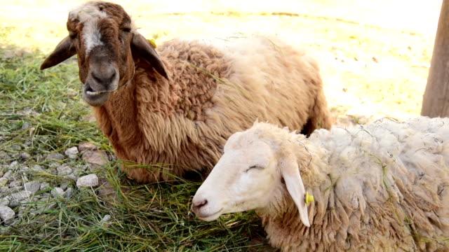 sheep feeding - hoofed mammal stock videos & royalty-free footage