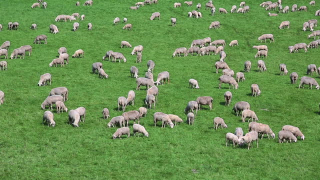 PAN Sheep Flock Grazing On Pasture