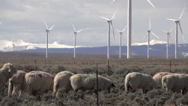 Sheep graze Fort Bridger Wyoming Mountain Wind Farm turbines snowy peaks