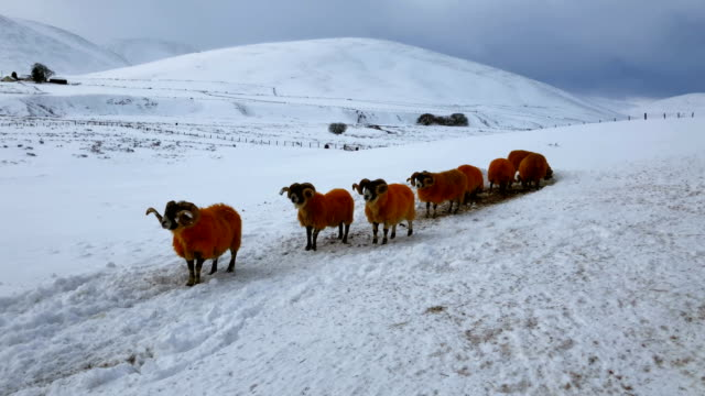 Sheep graze in a field as the Met Office upgrade its weather warning weather warning across the country on January 19 2018 in Thornhill Scotland...