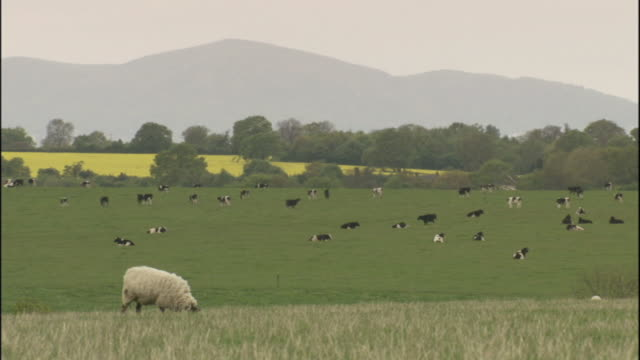 sheep graze in a field. - sheep stock videos & royalty-free footage