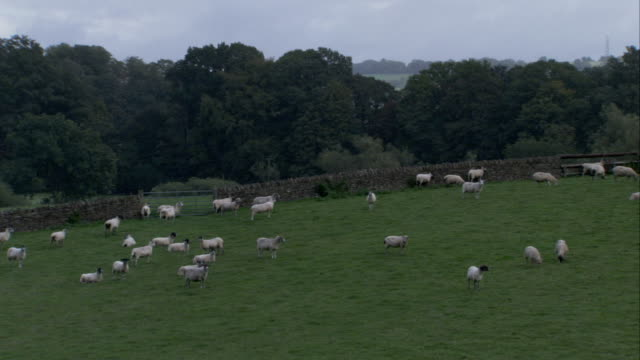 sheep graze in a meadow near a stone wall in gloucestershire. available in hd. - gloucestershire stock videos and b-roll footage