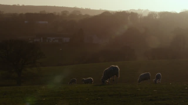 vídeos de stock e filmes b-roll de sheep graze in field at sunset, wales - país de gales
