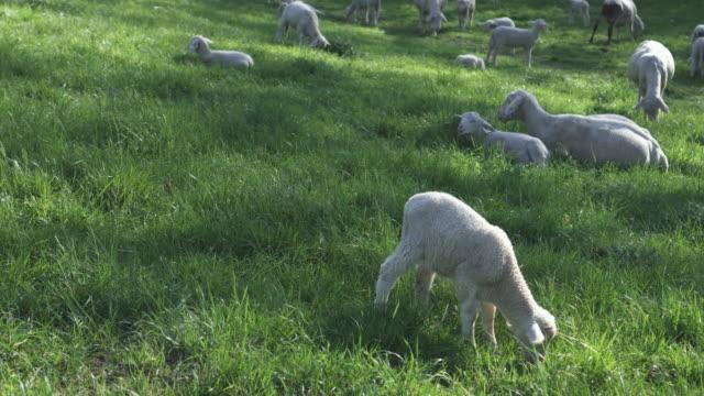 schafe weiden auf der wiese - pasture stock-videos und b-roll-filmmaterial