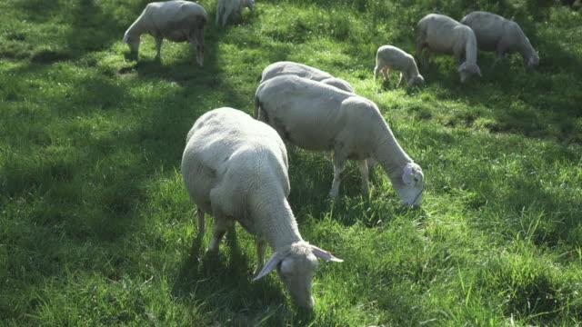 牧草地で羊の放牧 - 放牧地点の映像素材/bロール