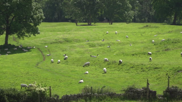 sheep graze on grassy hill in ireland - imperfection stock videos & royalty-free footage