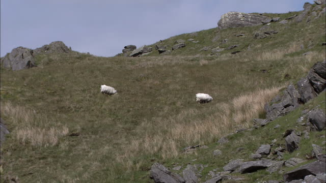 sheep graze on mountain side, snowdonia, wales - sheep stock videos & royalty-free footage