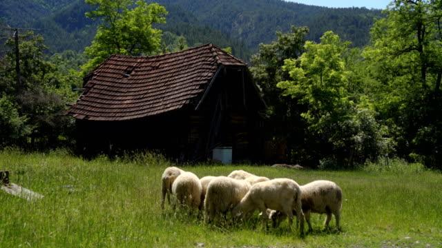 羊は草の田舎のシーンの概念を放牧 - 羊飼い点の映像素材/bロール