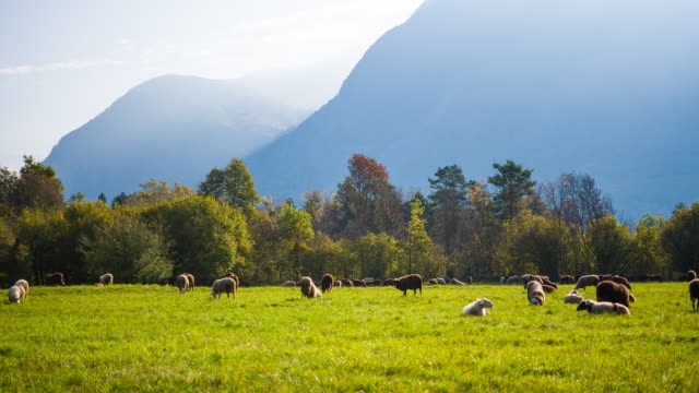 Sheep grazing and resting on pasture with mountains in background