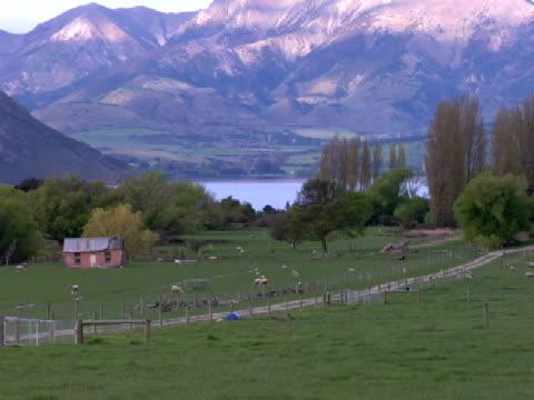 ws, pan, sheep grazing at lake wanaka, wanaka, new zealand - pflanzenfressend stock-videos und b-roll-filmmaterial