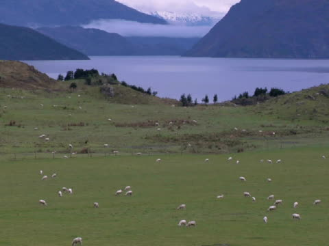 vídeos de stock e filmes b-roll de ws, pan, sheep grazing at lake wanaka, wanaka, new zealand - herbívoro