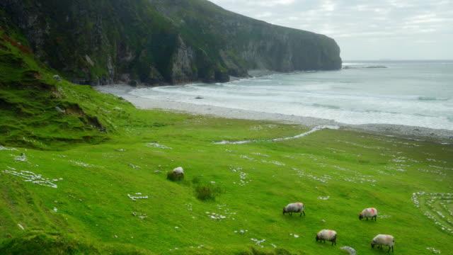Schapen grazen op rotsachtige kustlijn