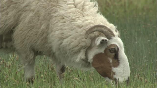 vídeos y material grabado en eventos de stock de sheep grazing, bayanbulak grassland. - oveja merina