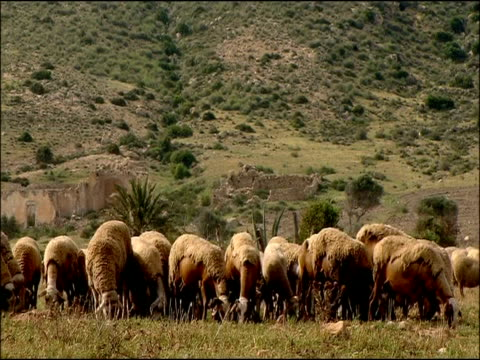 vídeos y material grabado en eventos de stock de sheep (ovis aries) grazing, cabo de gata, andalucia, spain - oveja merina