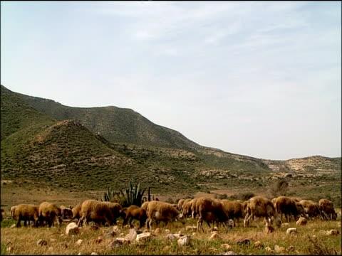 vídeos y material grabado en eventos de stock de sheep grazing, cabo de gata, andalucia, spain - oveja merina