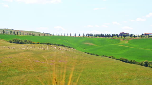 slo mo sheep grazing in a field - tuscany stock videos and b-roll footage