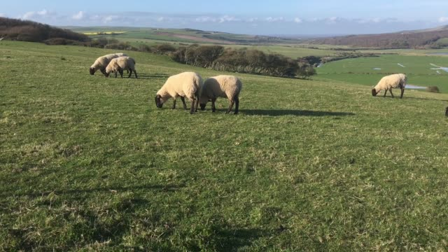 sheep grazing in a field - イーストサセックス点の映像素材/bロール