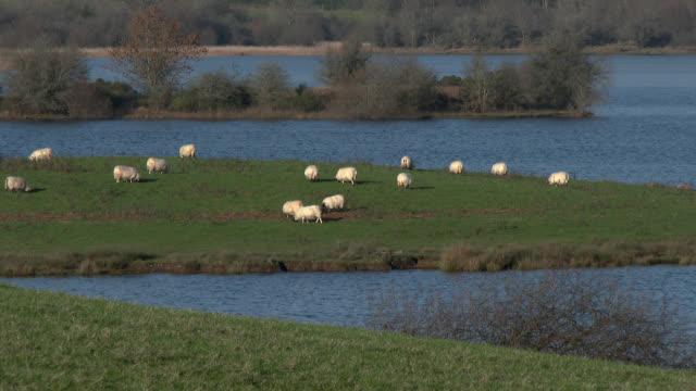 Schafbeweidung in einem schottischen Feld neben einem loch