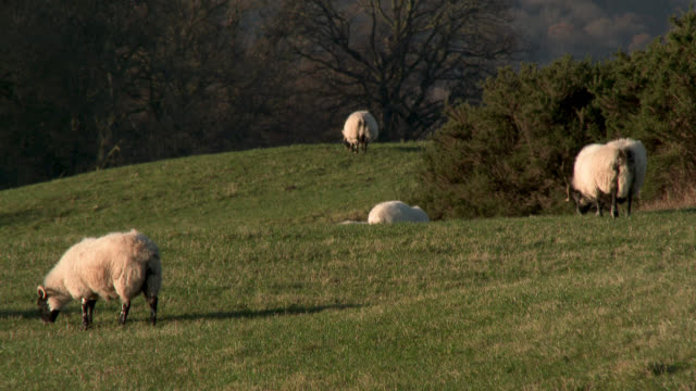 Sheep grazing in a Scottish field just before sunset