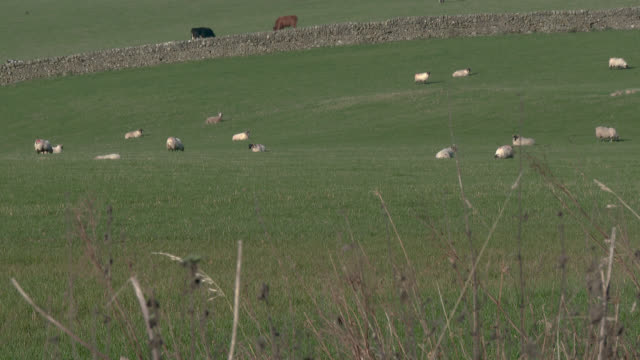 Sheep grazing in a Scottish field