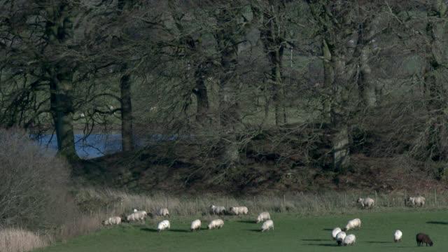 Schafbeweidung in einem schottischen Feld