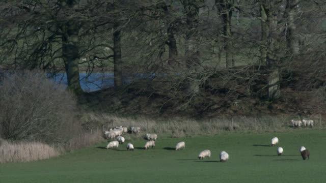 Schapen grazen in een Schotse veld